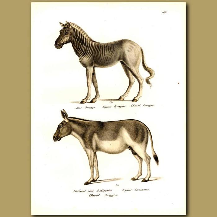Antique print. Quagga (an extinct species of Zebra) and Burro