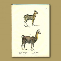Musk Deer And Llama