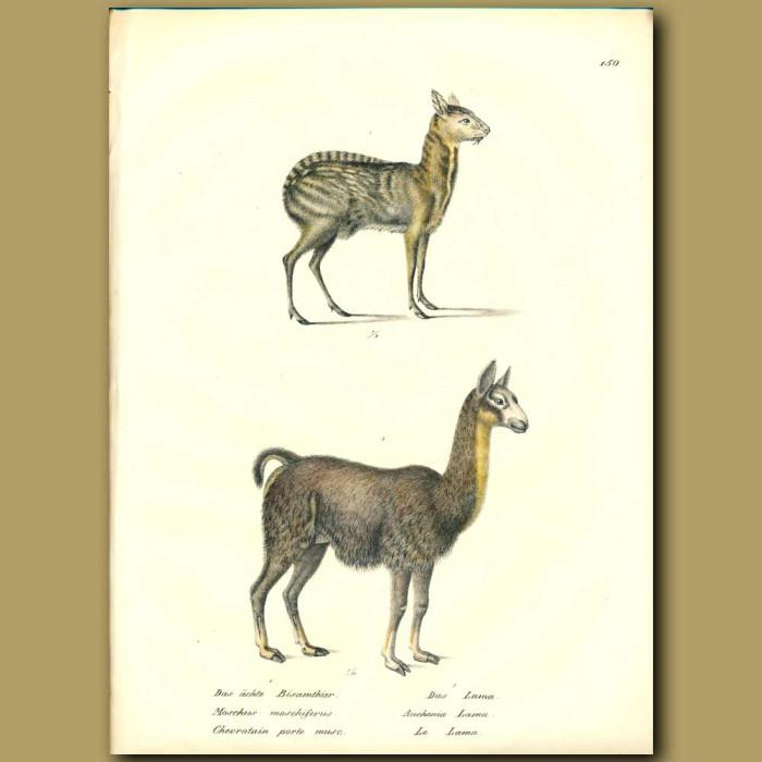 Antique print. Musk Deer and Llama