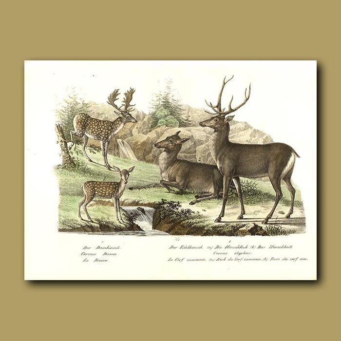 Antique print. Red and Fallow Deer