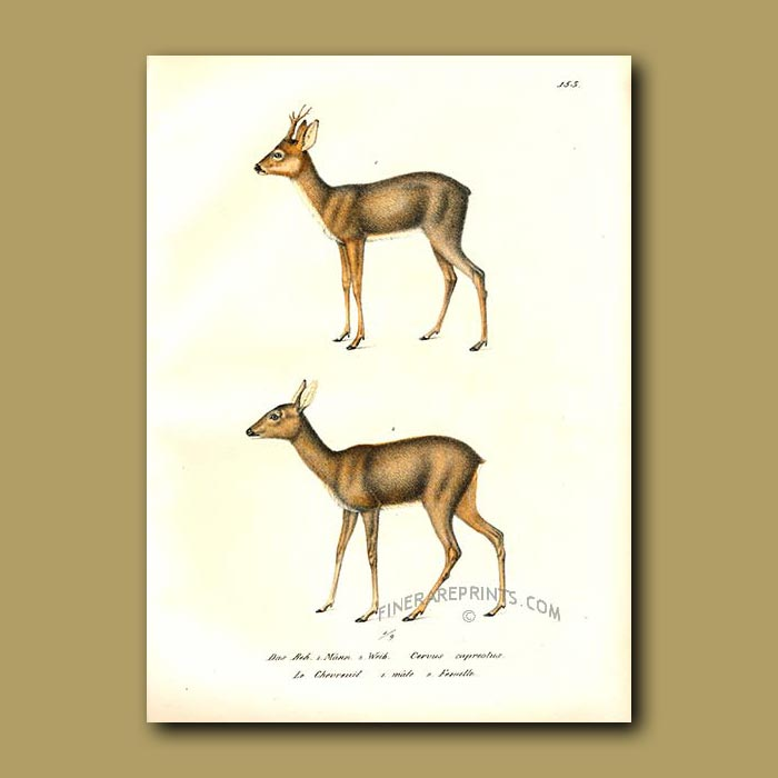 Antique print. Spotted Axis or Roe Buck