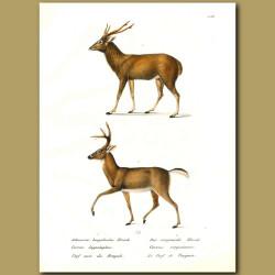Red Deer And Virginian Deer