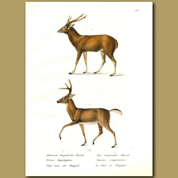 Antique print. Red Deer and Virginian Deer