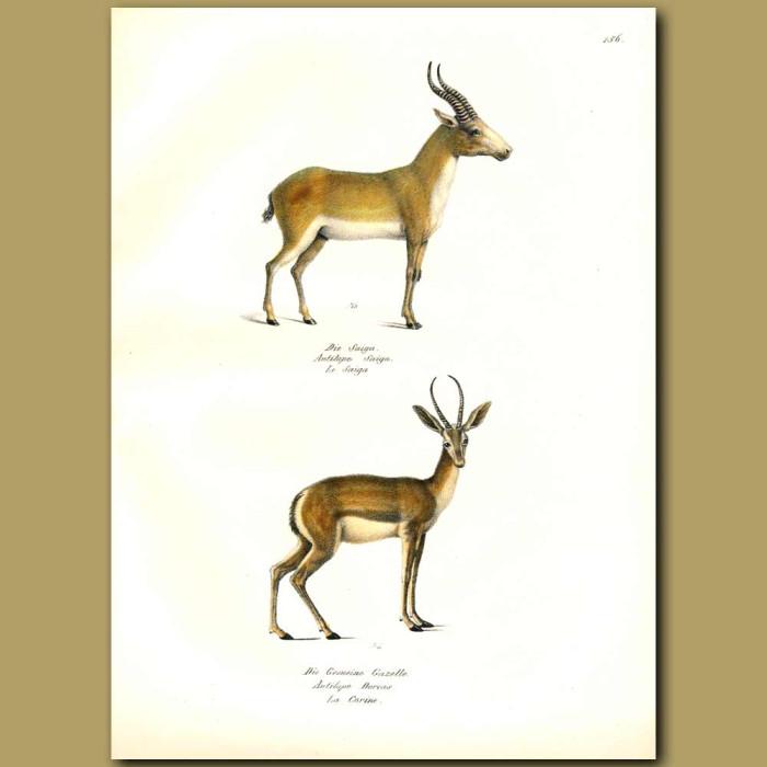 Antique print. Saiga Antelope and Dorcas Gazelle