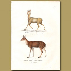 Klipspringer And Four Horned Antelope
