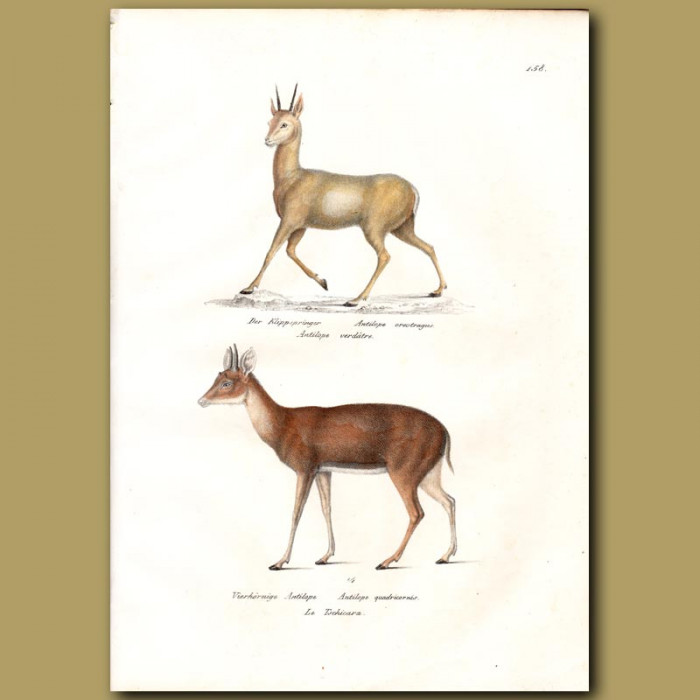 Antique print. Klipspringer and Four Horned Antelope