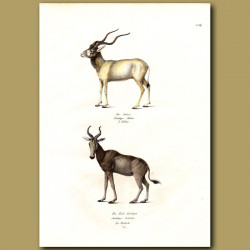 Screwhorn Antelope And Hartebeest Antelope