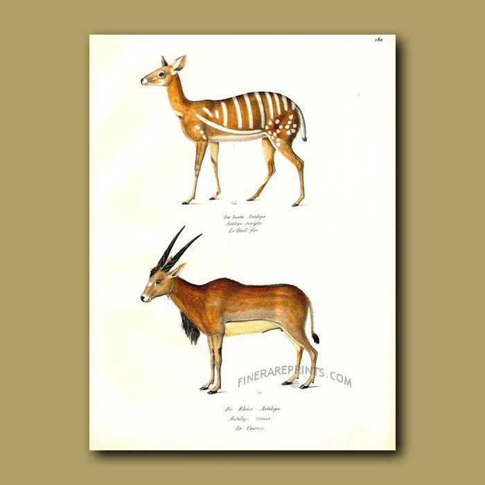 Antique print. Harnessed Antelope and Eland