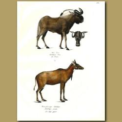 Wildebeest (Gnu) And Nilgai Antelope