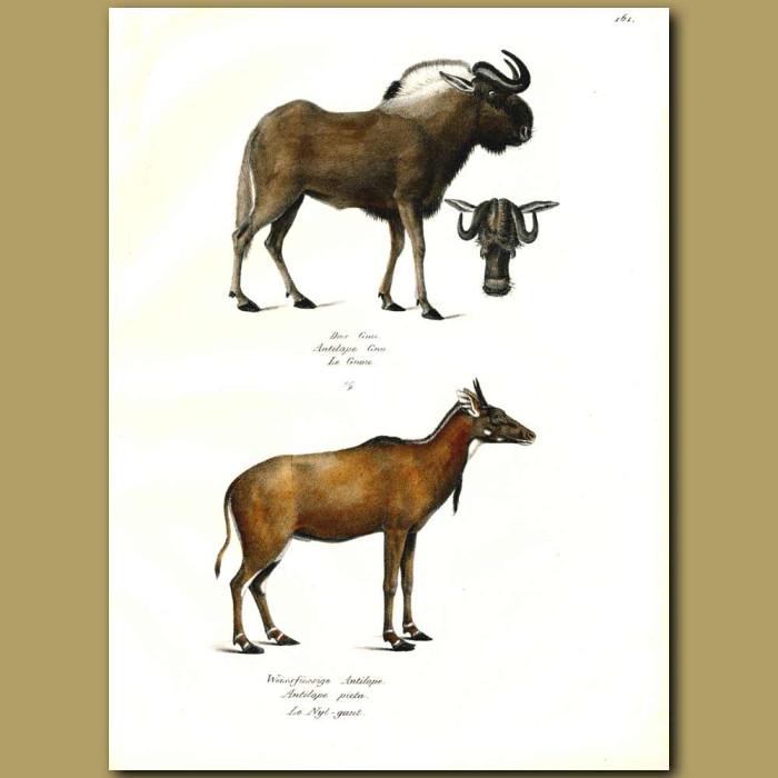 Antique print. Wildebeest (Gnu) and Nilgai Antelope
