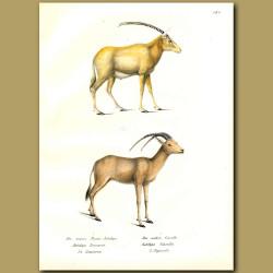 Arabian Oryx And Gazelle