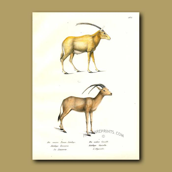 Antique print. Arabian Oryx and Gazelle