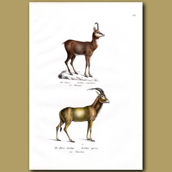 Antique print. Chamois and Roan Antelope
