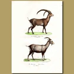 Alpine Ibex Goat And Wild Goat