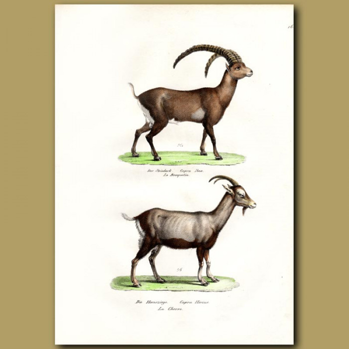 Antique print. Alpine Ibex Goat and Wild Goat