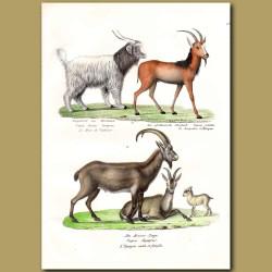 Cashmere Goat,Steinbok And Wild Goat