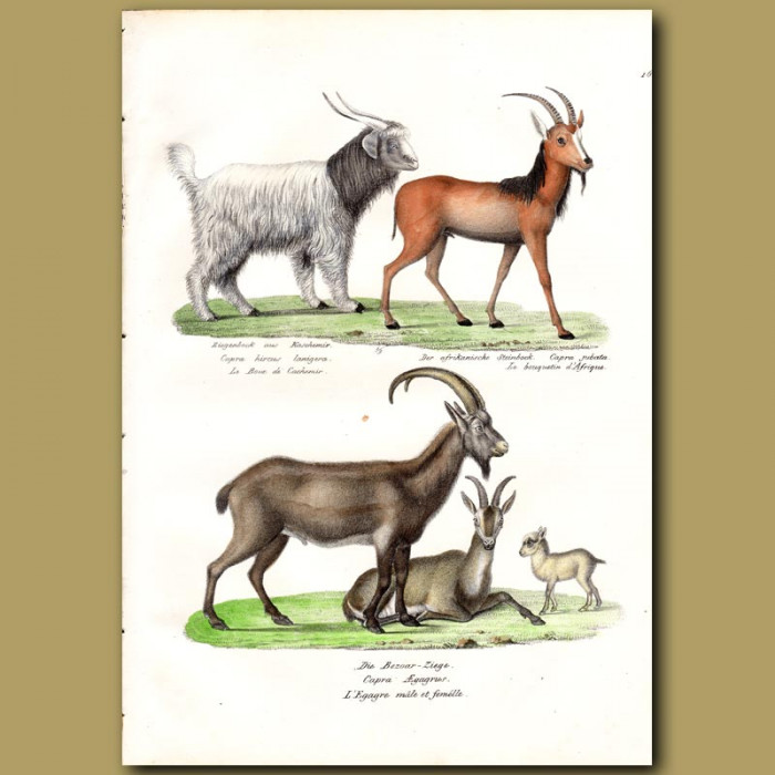 Antique print. Cashmere Goat,Steinbok and Wild Goat