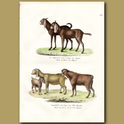 Nepalese Goats And Egyptian Goats