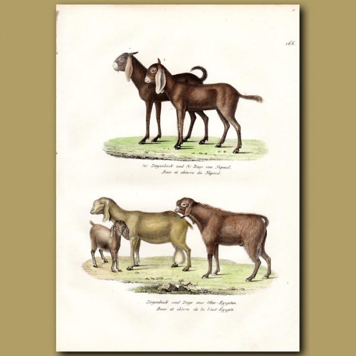 Antique print. Nepalese Goats and Egyptian Goats