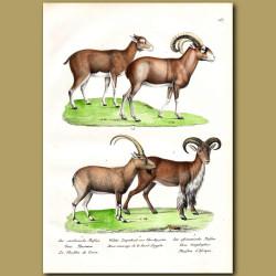 Corsican Mouflon (Sheep), Egyptian Sheep And Barbary Sheep
