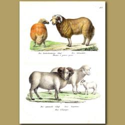 Broad-Tail Sheep And Spanish Sheep