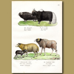 Musk Ox, Yak, Sheep And Extinct Barbary Sheep