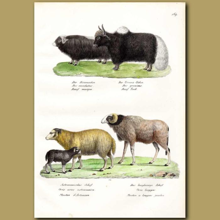 Antique print. Musk Ox, Yak, Sheep and Extinct Barbary Sheep