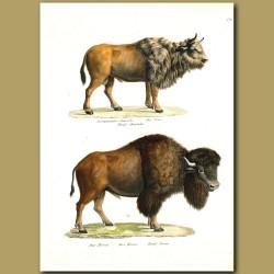 Aurochs (extinct European Bison) And American Bison (Buffalo)