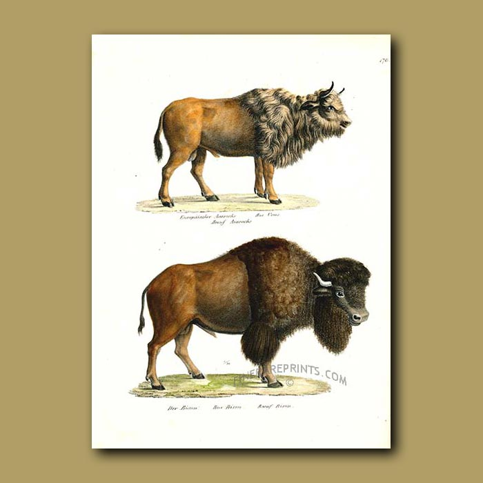 Antique print. Aurochs (extinct European Bison) and American Bison (Buffalo)