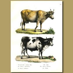 Domestic Cows