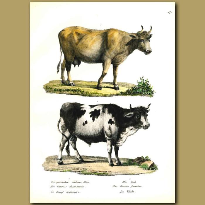 Antique print. Domestic cows