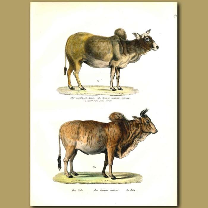 Antique print. Zebu cattle