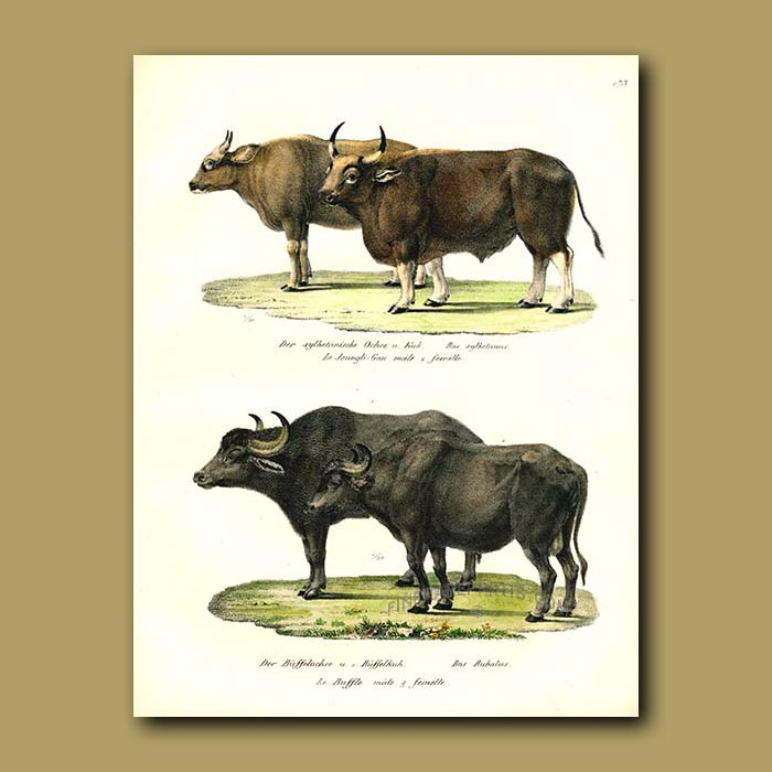 Antique print. Gaur (Indian Bison) and Water Buffalo