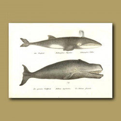 Fin Or Razorback Whale And Greenland Right Whale
