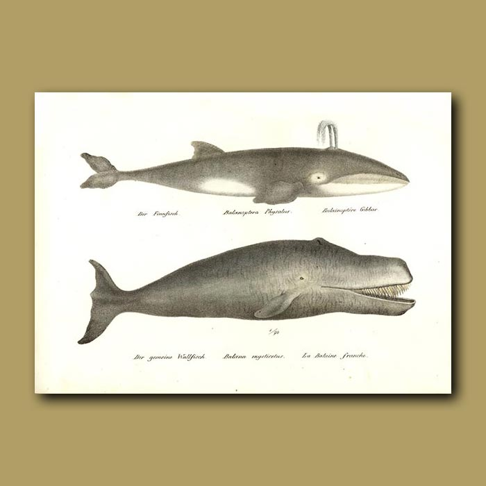 Antique print. Fin or Razorback Whale and Greenland Right Whale
