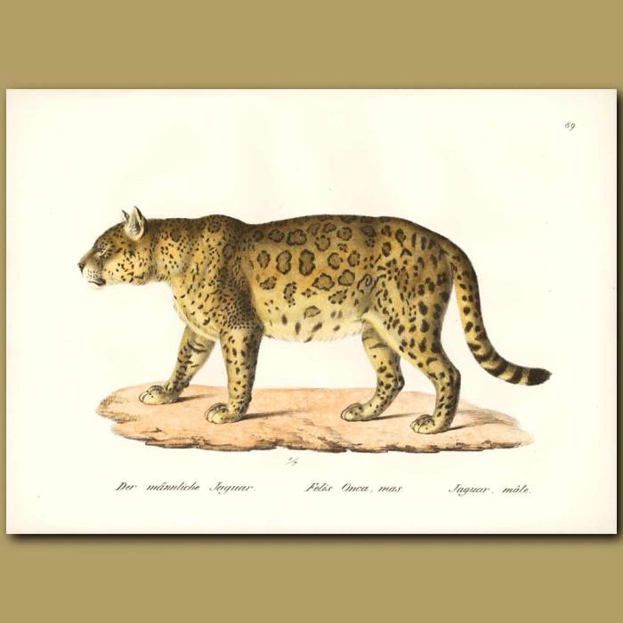 Antique print. Jaguar (male)