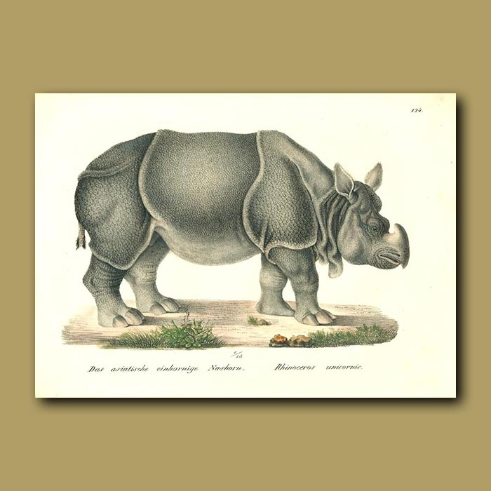 Antique print. African Rhinoceros