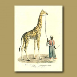 Giraffe And Arabian Handler