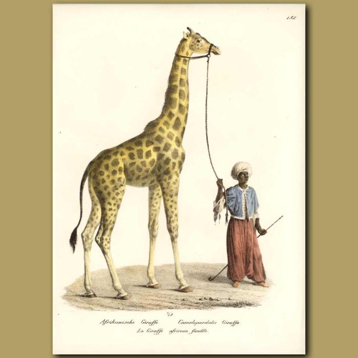 Antique print. Giraffe and Arabian Handler