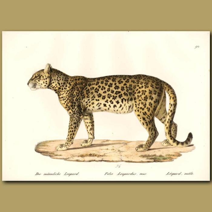 Antique print. Leopard (male)