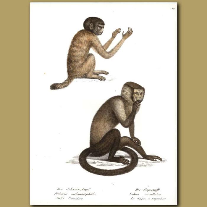 Antique print. Black Saki and Capuchin Monkeys from South America