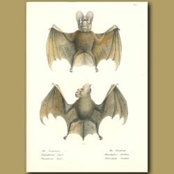 Greater False Vampire Bat And Horseshoe Bat