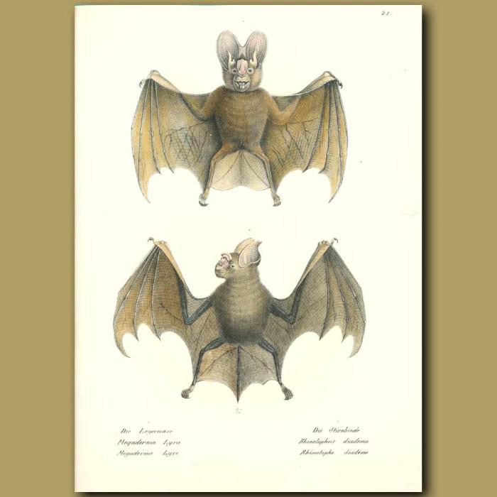 Antique print. Greater False Vampire Bat and Horseshoe Bat