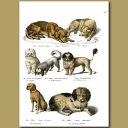 Dogs - Bichon, Spaniel, Pekingese, Poodle, Pug