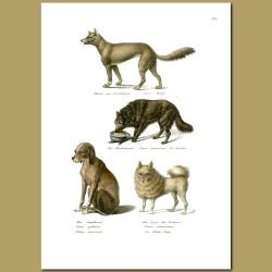 Dogs - Dingo, Berghund, Pointer And Pomeranian