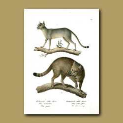 African And European Wild Cats