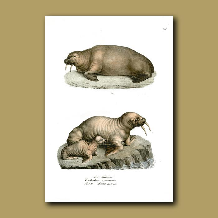 Antique print. Walrus