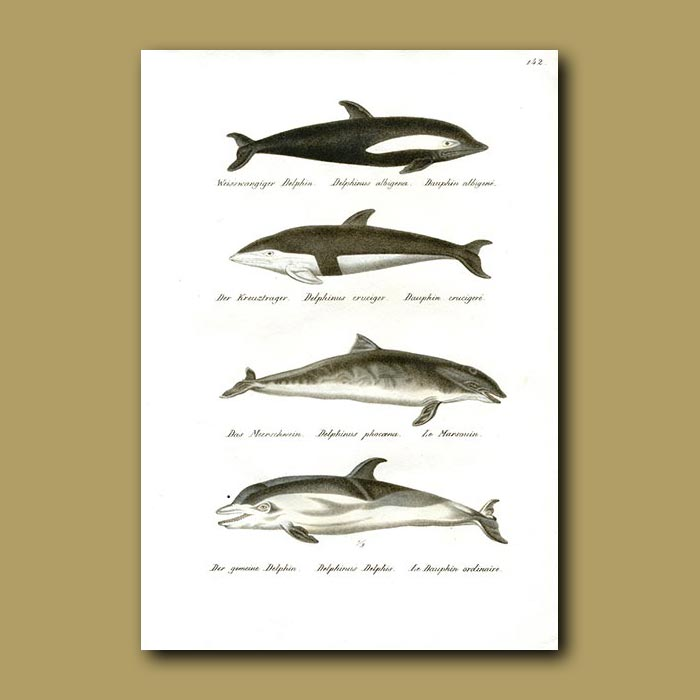 Antique print. Dolphins