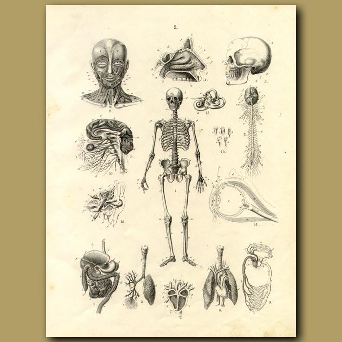 Antique print. Skeleton