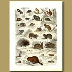 Rodents: Rabbits, Porcupine, Rats, Guinea Pig Etc